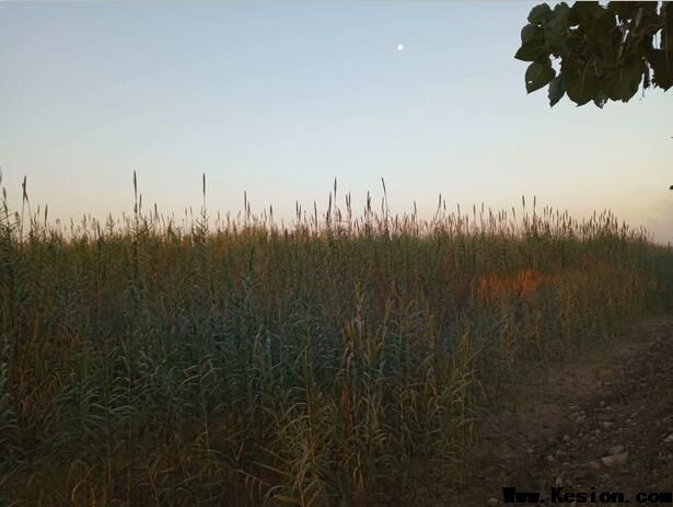 植物快繁罗彩义在山西运城黄河滩